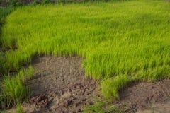 Arroz do rebento, exportações do arroz fotografia de stock royalty free