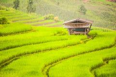 Arroz do Upland que cultiva em Tailândia Foto de Stock