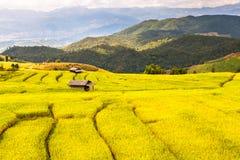Arroz do Upland que cultiva em Tailândia Fotografia de Stock