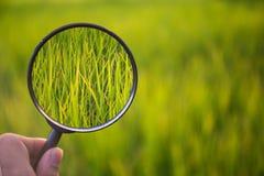 Arroz do verde da varredura da lupa no campo com fundo do blure Imagens de Stock Royalty Free