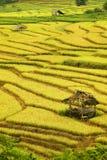 Arroz dourado arquivado no dia chuvoso Imagem de Stock