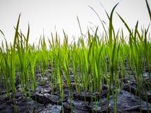 arroz e quebra da lama, crescendo Fotos de Stock Royalty Free