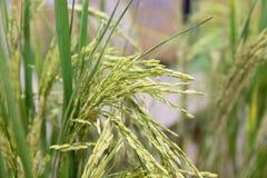 Arroz en campo de arroz imágenes de archivo libres de regalías