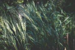 Arroz en campo de arroz en campo prado del trigo en tierras de labrantío imágenes de archivo libres de regalías