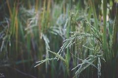 Arroz en campo de arroz en campo Prado en tierras de labrantío foto de archivo