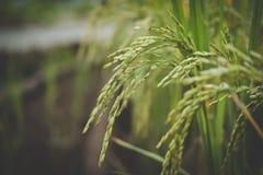 Arroz en campo de arroz en campo Prado en tierras de labrantío imagen de archivo libre de regalías