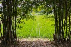 Arroz en campo del arroz Foto de archivo