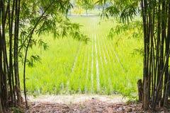 Arroz en campo del arroz Fotografía de archivo libre de regalías
