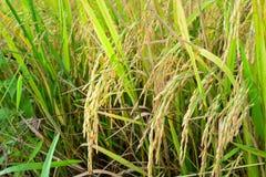 Arroz en la planta de arroz Fotos de archivo libres de regalías