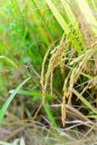 Arroz en la planta de arroz Imágenes de archivo libres de regalías