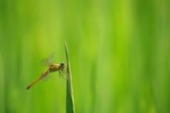 Arroz field1 de Dragonfly& Imágenes de archivo libres de regalías
