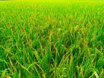 arroz fresco Fotografía de archivo libre de regalías