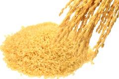 Arroz integral e orelha Sprouted do arroz Foto de Stock