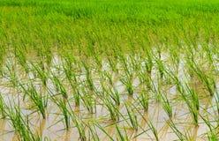 arroz joven Fotos de archivo
