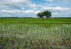 arroz joven Imágenes de archivo libres de regalías