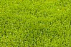 arroz joven Foto de archivo libre de regalías