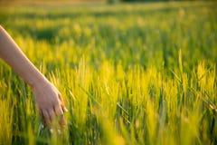 Arroz joven del verde del tacto de la mano en campo durante puesta del sol, la naturaleza y el aire fresco imágenes de archivo libres de regalías