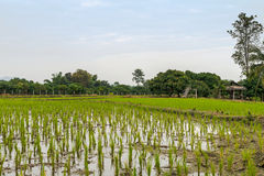 Arroz joven ese listo al crecimiento en el campo del arroz Imagen de archivo libre de regalías