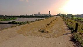 Arroz maduro amarelo seco no dique na tarde ensolarada imagens de stock