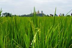 Arroz novo em campos do arroz Imagem de Stock