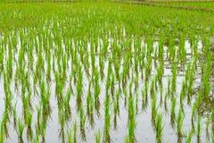 Arroz novo o no campo inundado do arroz Foto de Stock