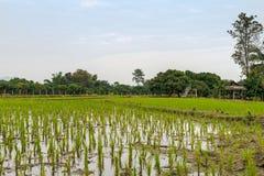 Arroz novo que se apronta ao crescimento no campo do arroz Imagem de Stock Royalty Free