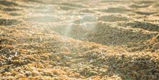 Arroz 'paddy' bonito no por do sol Imagens de Stock