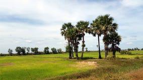 Arroz Paddy Field, Siem Reap Imagens de Stock Royalty Free