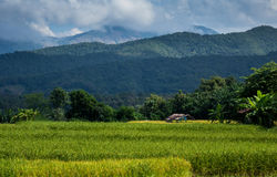 Arroz 'paddy' Nan Thailand do norte arquivada Imagens de Stock