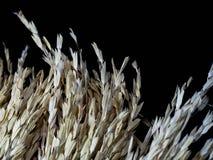 Arroz 'paddy' no fundo preto orelhas do arroz 'paddy' Copie o espaço para o texto Foto de Stock Royalty Free