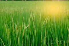 Arroz 'paddy' verde Fotos de Stock