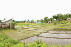Arroz Padi Field, Labuan Bajo Fotografia de Stock Royalty Free