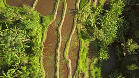 Arroz popular Paddy Fields en Ubud 4K, aéreo Bali, Indonesia almacen de metraje de vídeo