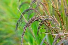 Arroz preto do roxo do arroz Fotografia de Stock