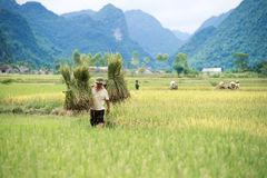 Arroz que colhe em Vietname Imagens de Stock Royalty Free