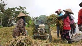Arroz que colhe o processo Trabalhadores de exploração agrícola do Balinese que trabalham no arroz Paddy Field Agricultura asiáti vídeos de arquivo