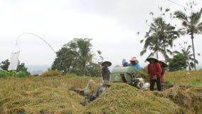 Arroz que colhe o processo Trabalhadores de exploração agrícola do Balinese que trabalham no arroz Paddy Field Agricultura asiáti video estoque