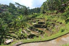 Arroz que crece en las islas de Bali Imagen de archivo