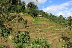 Arroz que crece en las islas de Bali Foto de archivo