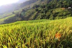 Arroz que crece en Sapa, Vietnam Foto de archivo