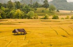 Arroz que cultiva em Tailândia 2 Fotografia de Stock Royalty Free