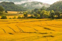 Arroz que cultiva em Tailândia 3 Fotos de Stock