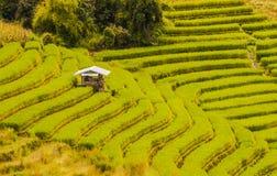 Arroz que cultiva em Tailândia 6 Fotografia de Stock Royalty Free