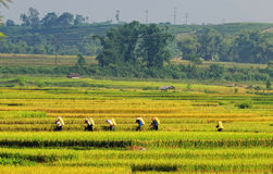 Arroz que lleva de la gente en el campo en Yen Bai, Vietnam Imagen de archivo