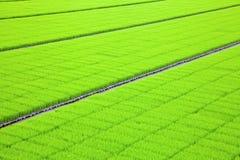 Semeação do arroz Foto de Stock