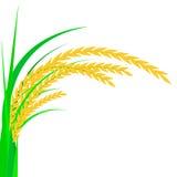 arroz Spikelet do arroz em um fundo branco Ilustração do vetor Imagem de Stock Royalty Free
