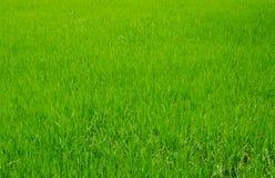 Arroz tailandês fotografia de stock