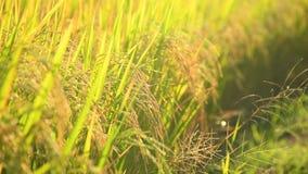 Arroz tailandês do campo de almofada no tom morno quase a colher video estoque
