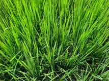 Arroz verde fotografia de stock royalty free