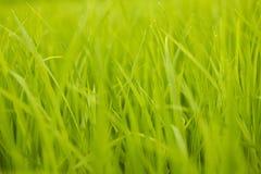 Arroz verde Imagenes de archivo